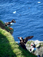 puffins in Hermaness, Unst